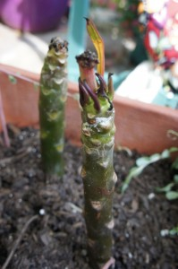 Plumeria cuttings in pot