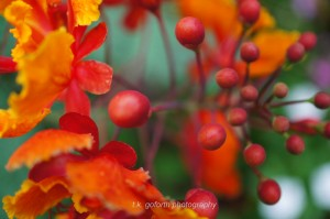 Pride of Barbados Flower Buds
